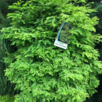 Bizon Nursery North Light Dawn Redwood