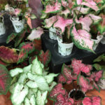 Proven Winners - Caladium 'Heart to Heart' Series