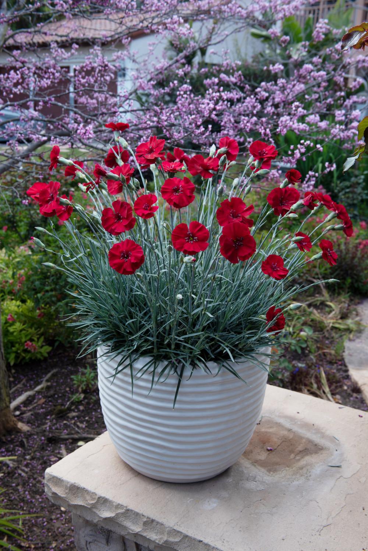 Dianthus-American-Pie-Cherry-Pie-002 (Plant Haven)