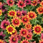 Zinnia Profusion Red Yellow Bicolor