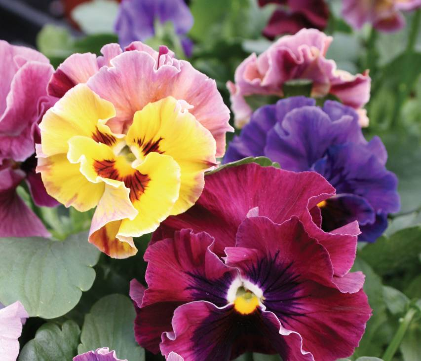 Burpee Releases 2021 Gardening Trend Forecast GardenCast _Pansy_Moulin_Rouge_2-vert