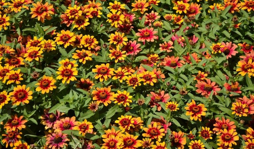Sakata's New Zinnia Earns Two Gold Medals